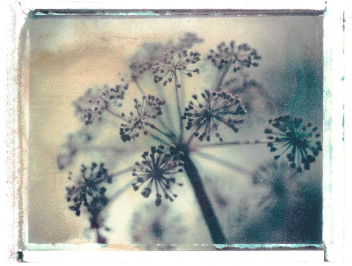 Gothic Summer series: Cow Parsley